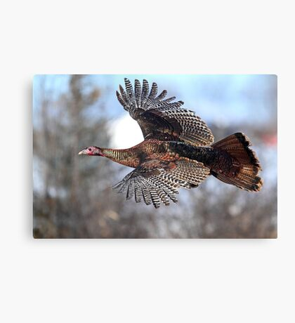 Turkey Flying - Wild Turkey Canvas Print