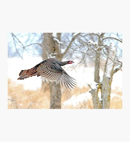 As God as my Witness... Wild Turkeys can fly! Photographic Print
