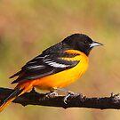 A Burst Of Orange / Baltimore Oriole by naturalnomad