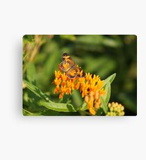 Pearl Crescent on Butterfly Weed Flowers 1 Canvas Print