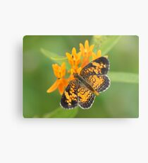 Pearl Crescent on Butterfly Weed Flowers 2 Metal Print