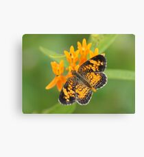 Pearl Crescent on Butterfly Weed Flowers 2 Canvas Print