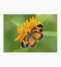 Pearl Crescent on Butterfly Weed Flowers 2 Photographic Print