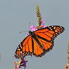 Monarch butterfly - iPhone Case by Alinka