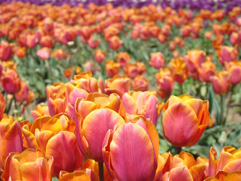 Tulip Festival Fine Art Prints Pink Orange Tulips Floral by BasleeArtPrints