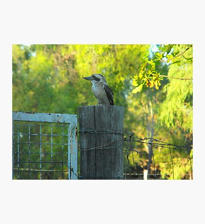 Bluff's  Best Kookaburra Sanctuary    Photographic Print