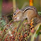 Chipmunk by (Tallow) Dave  Van de Laar