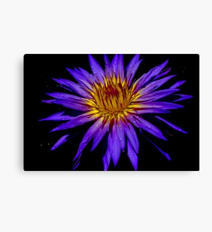 Water Lily - Nymphaea 'Blue Aster' Canvas Print