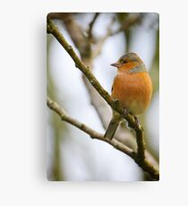 Chaffinch, The Rower, County Kilkenny, Ireland Canvas Print