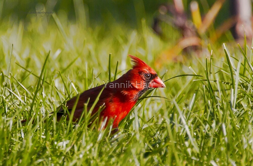Red Cardinal Foraging in the Grass by Yannik Hay