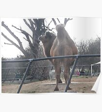 London Zoo/Camel (1 of 2) -(190212)- digital photo Poster