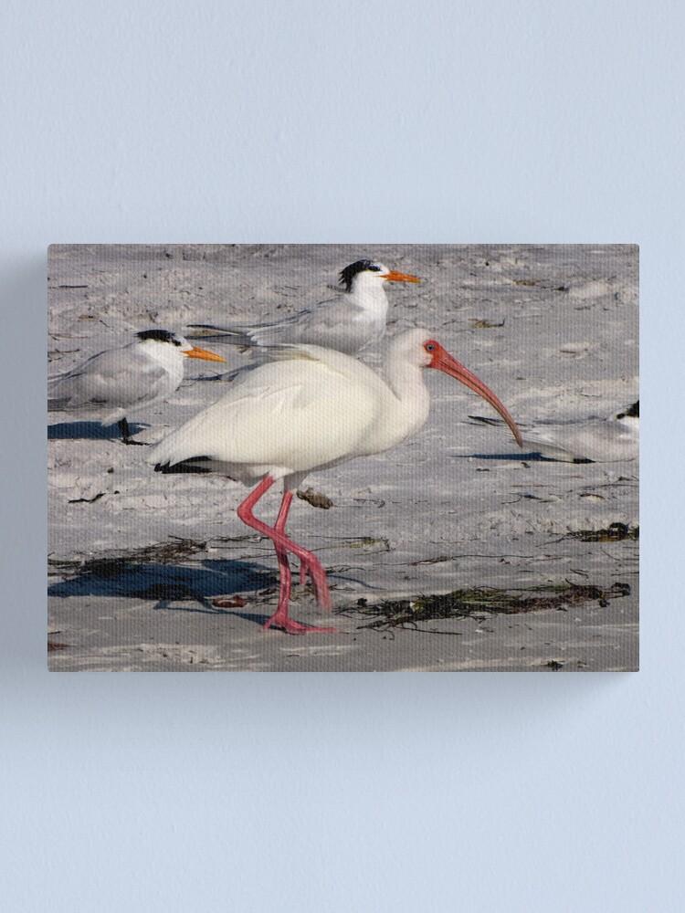 Alternate view of White Ibis Foraging Canvas Print
