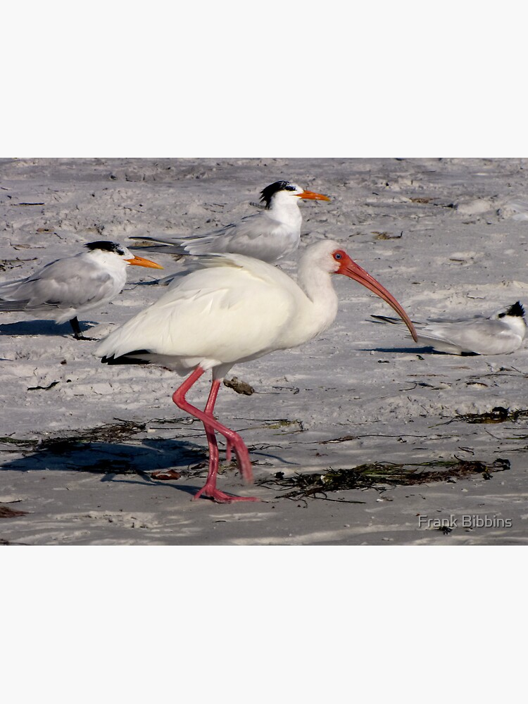 White Ibis Foraging by organicman2
