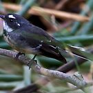 Willie Wagtail Rhipidura leucophrys by David  Piko