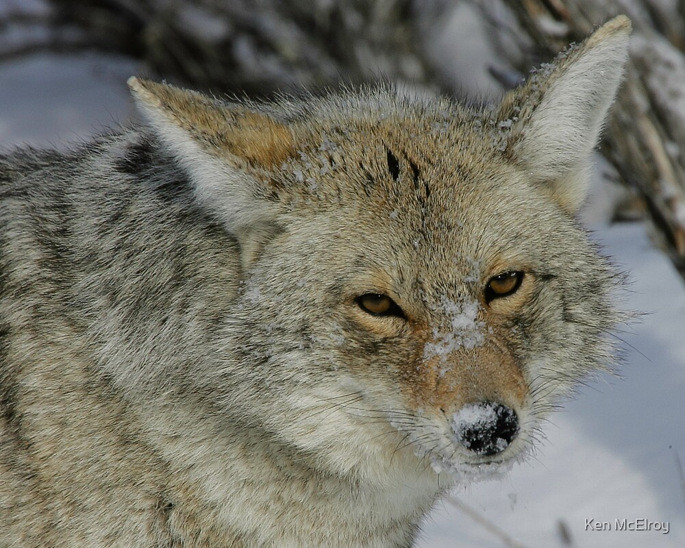 Wiley Coyote Stare #1 by Ken McElroy