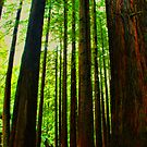 Redwoods Forest  by Michael Rowley