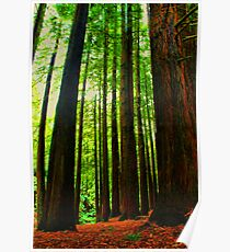 Redwoods Forest  Poster