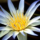 Water Lily by DianaM