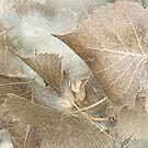 Cottonwood Tree Leaves by CarolM