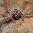 Brown Huntsman - Heteropoda sp. by Andrew Trevor-Jones