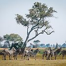A Zeal of Zebras by Christina Backus