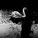 Swan in the Stour River by rsangsterkelly