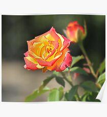 Rose HDR Poster