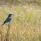 Perched Lilac Roller Bird by Christina Backus