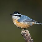 Red Breasted Nuthatch by Daniel  Parent
