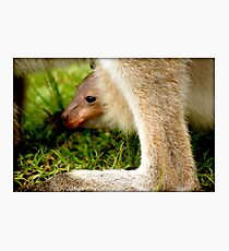 JOEY in mummy KANGAROOS pouch (wee skippy) Photographic Print