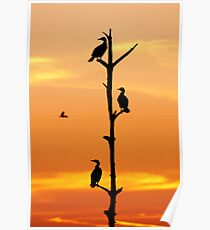 Cormorants Sunset Poster