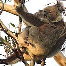 Koala cuddle - Skye, South Australia by Dan Monceaux