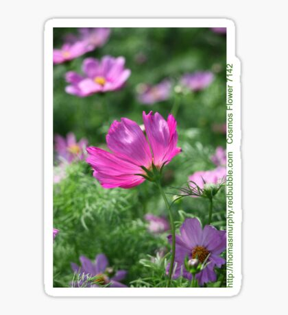 Cosmos Flower 7142 T shirt Sticker