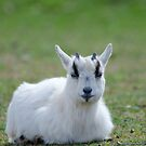 Young Goat, small horn! by vasu
