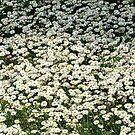 White daisies by Ana Belaj