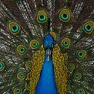 Peacock! by vasu