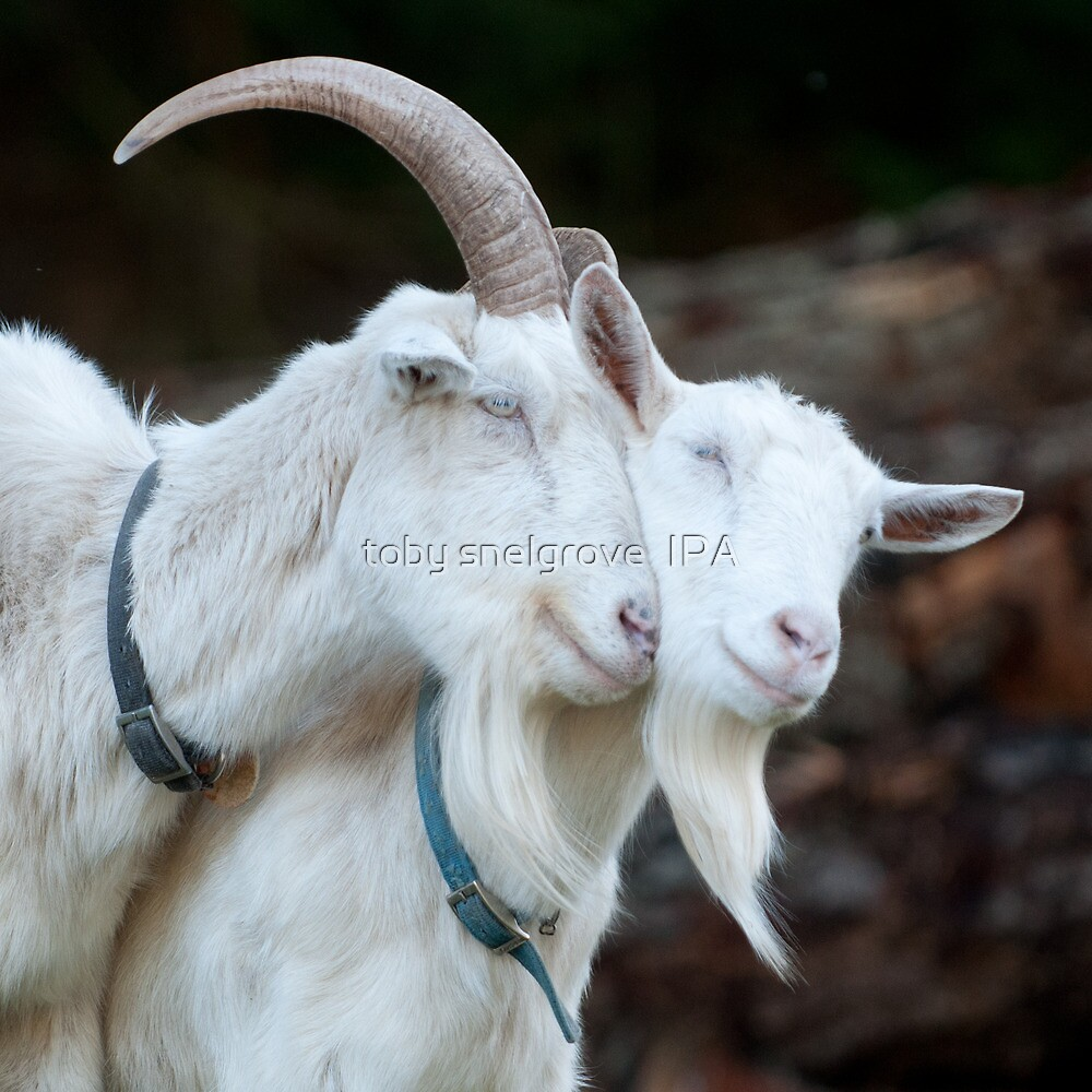 Quot Goat Love Quot By Toby Snelgrove Ipa Redbubble