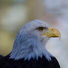 Bald Eagle by vasu