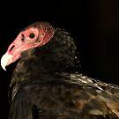 Turkey Vulture by vasu