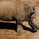 Rhino by vasu