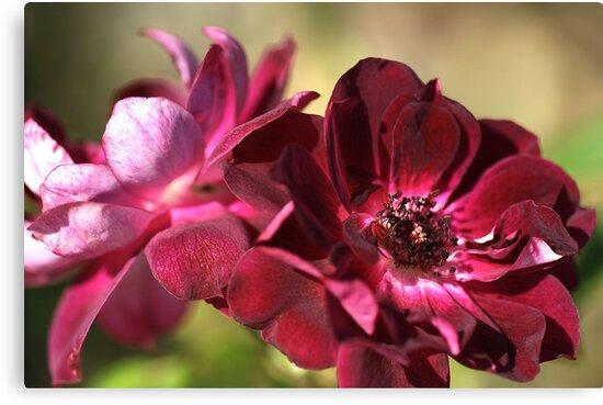 Blushing by Joy Watson
