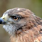 Red-Tailed Hawk by sketchpoet