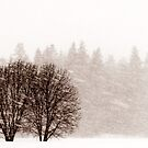 28.2.2012: Trees and Forest in Blizzard by Petri Volanen