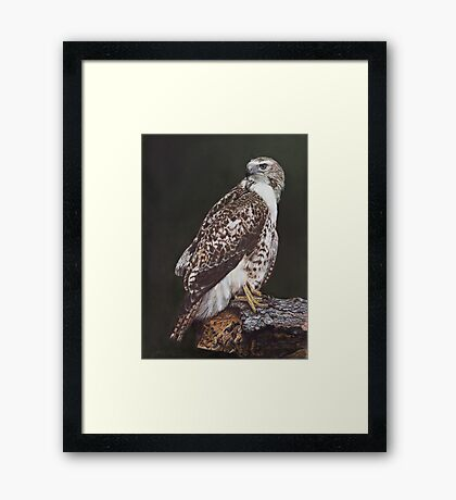 Juvenile Red-Tailed Hawk Framed Print