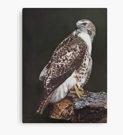 Juvenile Red-Tailed Hawk Canvas Print