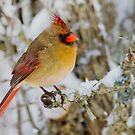 Female Cardinal perched on a branch by michelsoucy