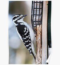 Woodpecker - Ottawa, ON Poster