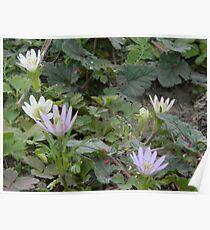 Windflowers, thimbleweed, wood anemone Poster