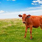 Spring calf on a summer day - when life´s good by Juhana Tuomi