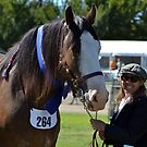 Clydesdale, 2012 Royal Canberra Show by Kate Howarth
